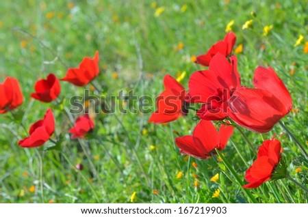 Wild Anemone flowers (Anemone coronaria) in spring desert - stock photo