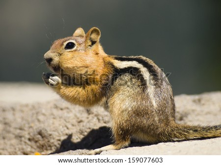 Wild Animal Chipmunk Stands Eating Filling up For Winter Wildlife Hibernation - stock photo