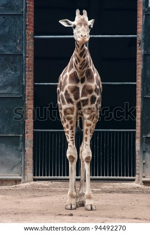 wild animal giraffe - stock photo