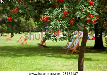 Wild ash with red berries and empty deck chairs in Hyde Park, London - stock photo