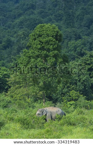 wild Asian elephants in the forest - stock photo