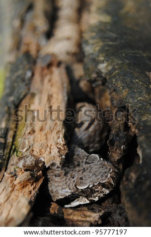 wild asp viper hidden in a trunk (Vipera aspis francisciredi) - stock photo