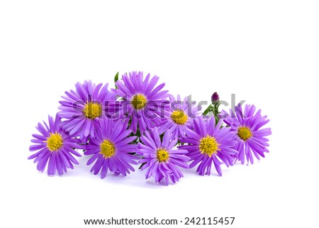 Wild asters on white background. Michaelmas daisies (botanical name: Aster novi-belgii or Symphyotrichum novi-belgii), also known as New York asters and alpine asters (Aster Alpinus).  Asteraceae. - stock photo