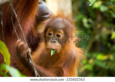 Wild baby and mother Orangutan eating young leaf in the forest of Borneo Indonesia. - stock photo