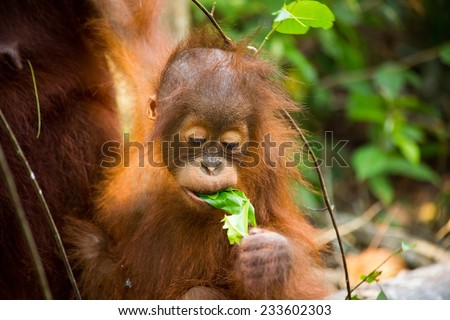 Wild Baby Orangutan Eating Young Leaf While In Mother Arms Holding In The Forest Of Borneo Indonesia. - stock photo