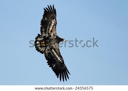 wild bald eagle against blue sky - stock photo