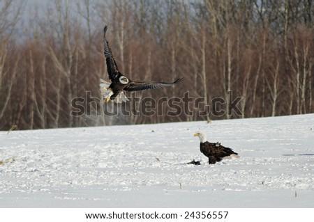 wild bald eagle hunting - stock photo