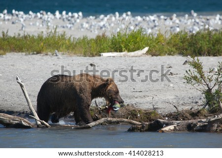 Wild bear hold a fish salmon in his mouth. Kamchatka. Russia. - stock photo