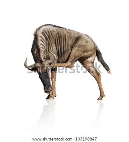 Wild Beast Isolated On White Background - stock photo
