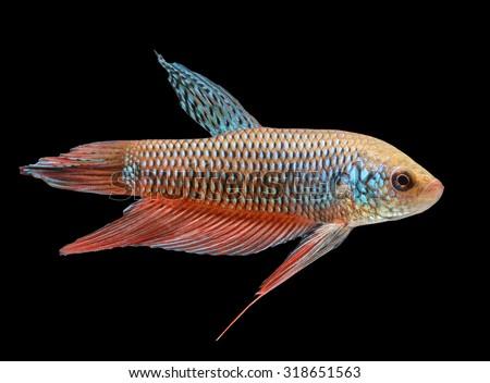 Wild betta stock photos images pictures shutterstock for Wild betta fish