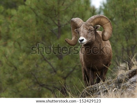 Wild Bighorn Mountain Sheep with large horns standing on cliff with pine tree backdrop Montana bow archery big game hunting Rocky Mountain alpine wildlife viewing and photography Ovis canadensis - stock photo