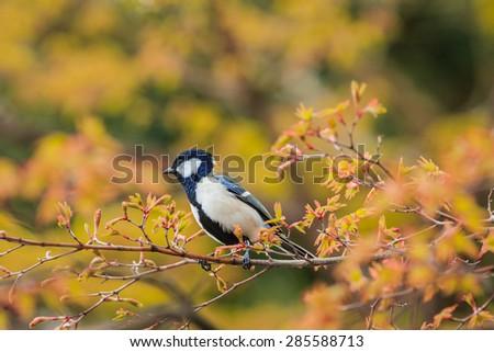 wild bird on the brunch of yellow tree,Japan. - stock photo