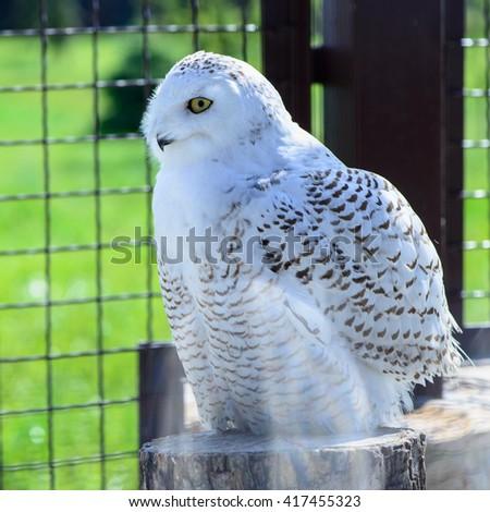 Wild bird one white owl is sitting - stock photo
