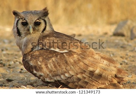 Wild Birds from Africa - The Giant Eagle Owl Stare - stock photo