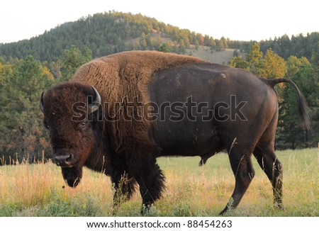 wild bison - stock photo