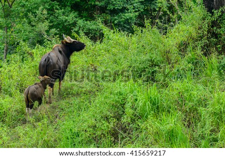 Wild bison mother of two children living out in the evening. - stock photo