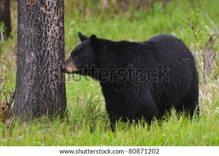 Wild Black Bear in Jasper National Park Alberta Canada - stock photo