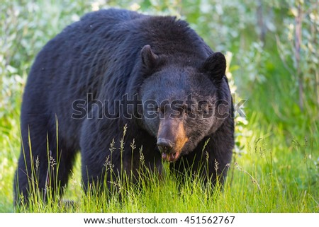 Wild Black Bear in the summertime, Banff and Jasper National Park Alberta Canada - stock photo