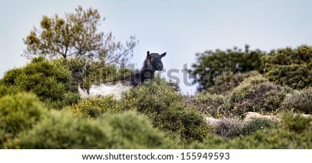 Wild black goat on Crete in Greece - stock photo