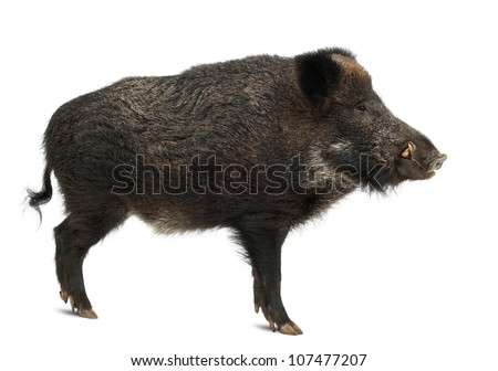 Wild boar, also wild pig, Sus scrofa, 15 years old, standing against white background - stock photo
