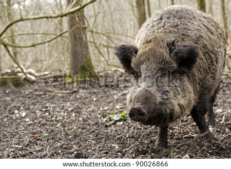 Wild boar in a forest, Holland - stock photo