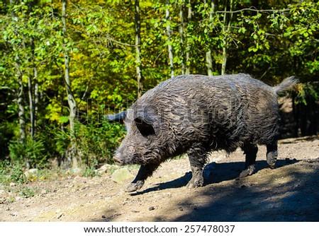 Wild boar in forest - stock photo