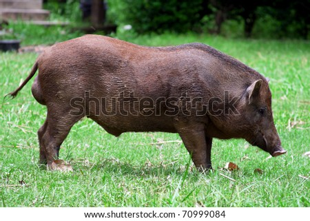 Wild boar in grass - stock photo