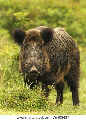 Wild boar in grass, before a thicket (Sus scrofa). - stock photo