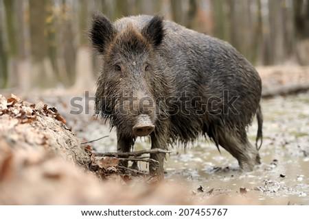 Wild boar in wood. Boar in dirt - stock photo