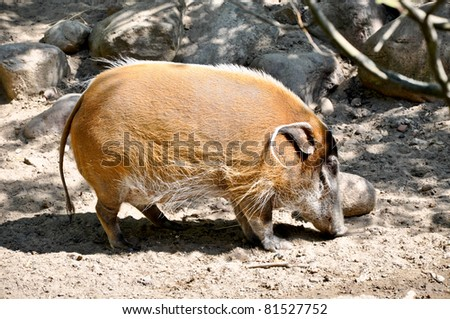 Wild boar on sand in search of food - stock photo