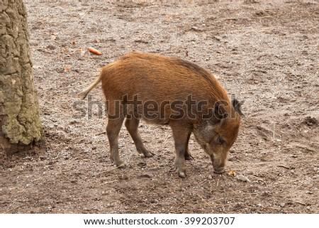 Wild Boar piglet in Skansen, Stockholm, Sweden - stock photo