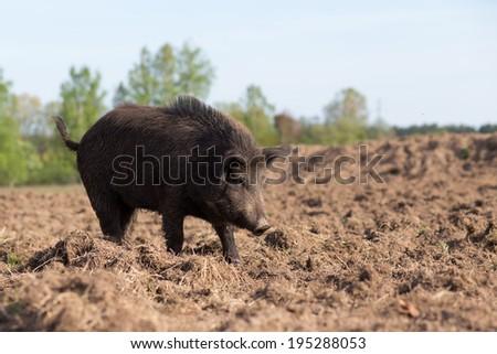Wild boar searching food on field - stock photo