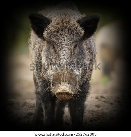 wild boar ( Sus scrofa ) portrait looking towards camera with vignette - stock photo