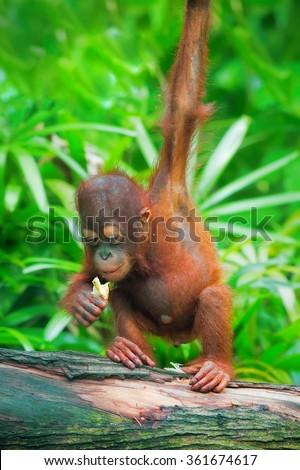 Wild Borneo Orangutan - stock photo