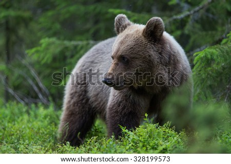 Wild Brown bear in deep thick forest - stock photo