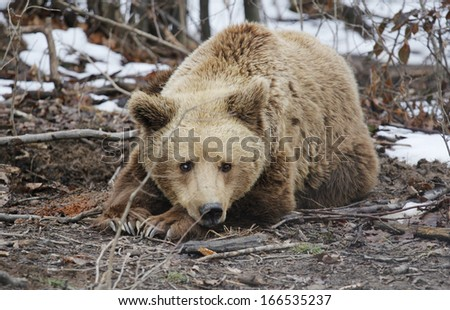 Wild brown bear resting in the woods and waiting end of winter - stock photo