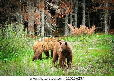 Wild Brown Bears in Kananaskis Country Alberta Canada - stock photo