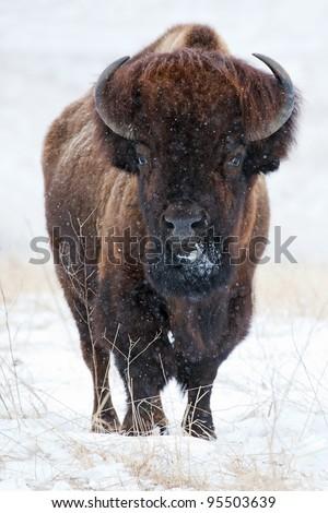 Wild buffalo in winter - stock photo