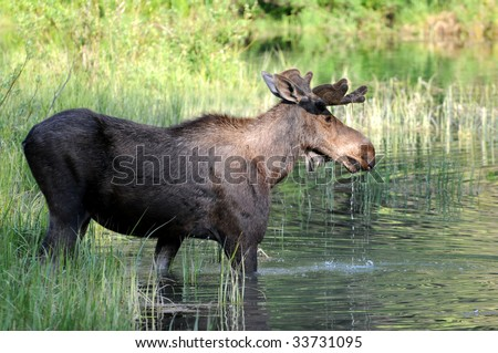 Wild bull moose stepping into a swampy lake in the Glacier National Park in Montana, northwestern USA. - stock photo