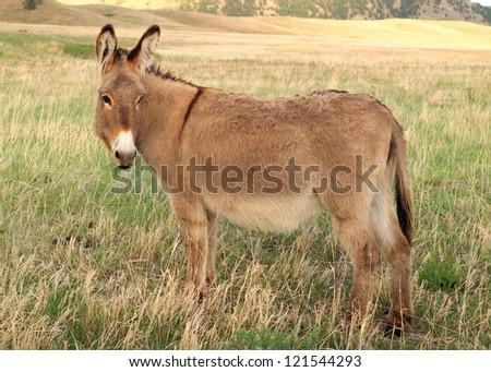 Wild burro or donkey roaming praire scrub - stock photo