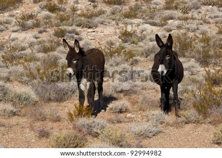 Wild Burros in Desert of Nevada, USA - stock photo