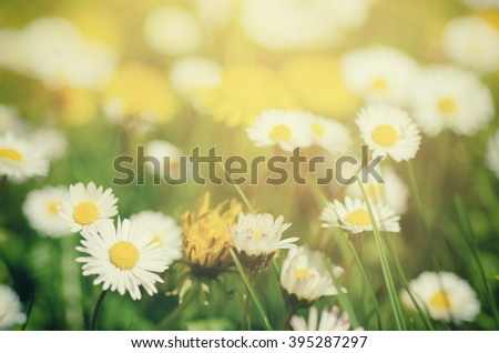 Wild camomile daisy flowers growing on green meadow, macro image with sunlight and copy space, holiday easter background - stock photo