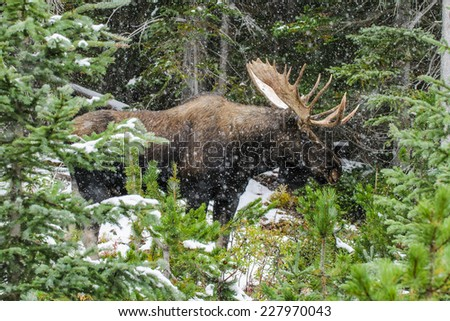 Wild Canadian Bull Moose with Antlers on a parkway roadside in the Snow in Autumn. - stock photo