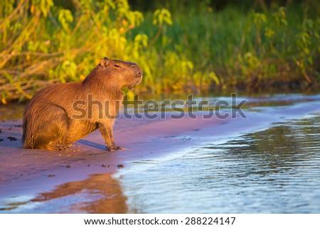 Wild Capybara - stock photo