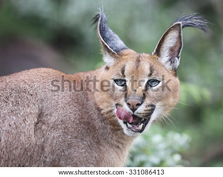wild caracal, South Africa. - stock photo