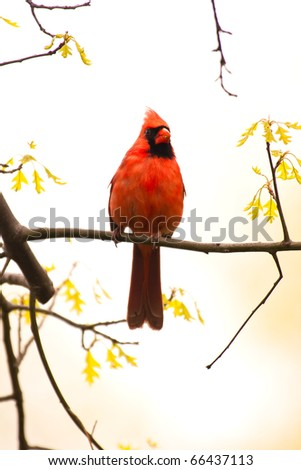 Wild Cardinal Perched on Branch and Looking At Camera - stock photo
