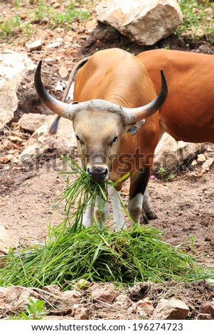 Wild Cattle eating grass on the hill  - stock photo