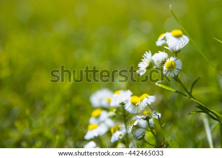 wild chamomile and green fresh grass, bokeh, blur, space for text. - stock photo