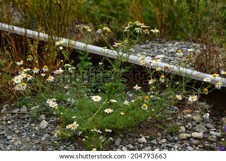Wild chamomile growing by the railroad tracks - stock photo