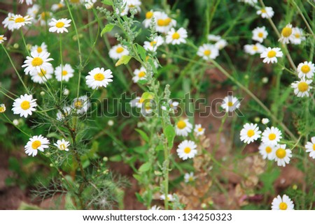 Wild chamomile on a meadow close up - stock photo